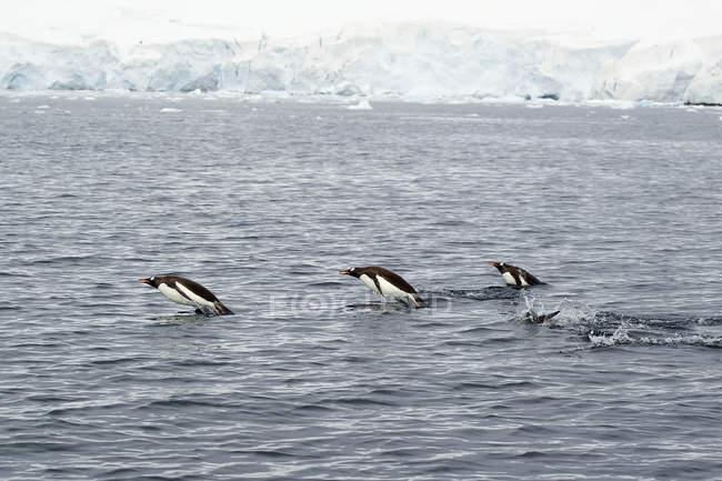 Pingüinos Gentoo nadando - foto de stock