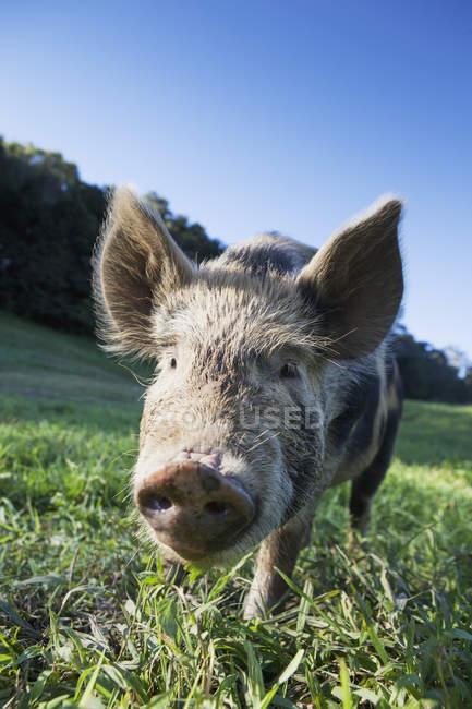 Cerdo en el campo de hierba - foto de stock
