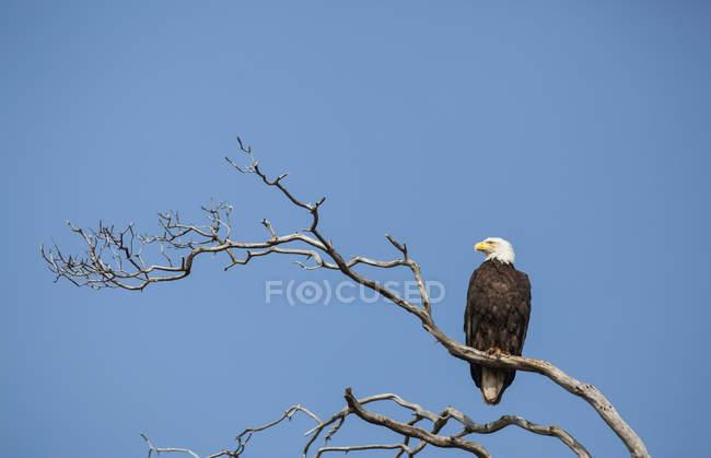 Resti dell'Aquila calva — Foto stock