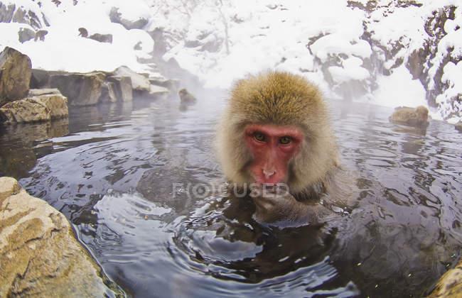 Japanese Macaque Soaks — Stock Photo