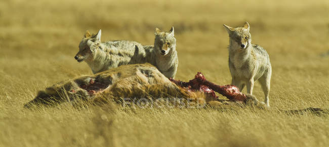 Coyotes autour de carcasse — Photo de stock