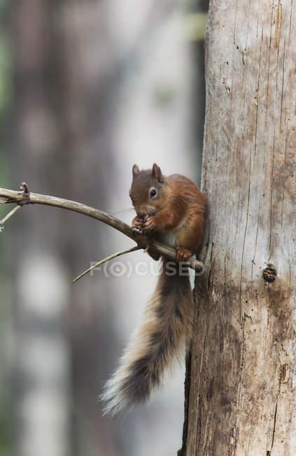 Білка сидить на дереві — стокове фото