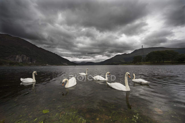 Cisnes nadando en el agua - foto de stock