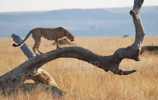 Cheetah walking on tree — Stock Photo