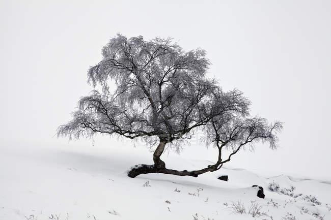 Árvore gelada na neve — Fotografia de Stock