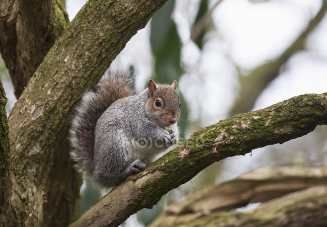Squirrel sitting in tree — Stock Photo