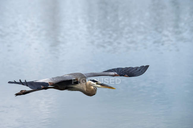Велика блакитна чапля летить над водою — стокове фото