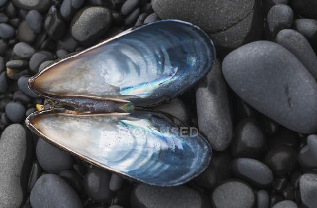 Mitilo sopra le pietre — Foto stock