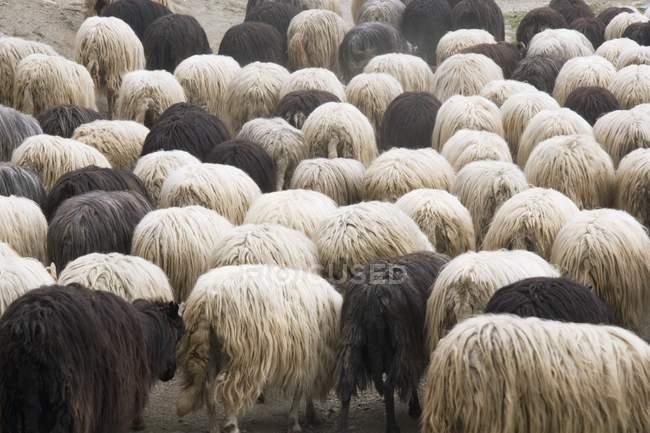Troupeau de moutons à l'extérieur — Photo de stock