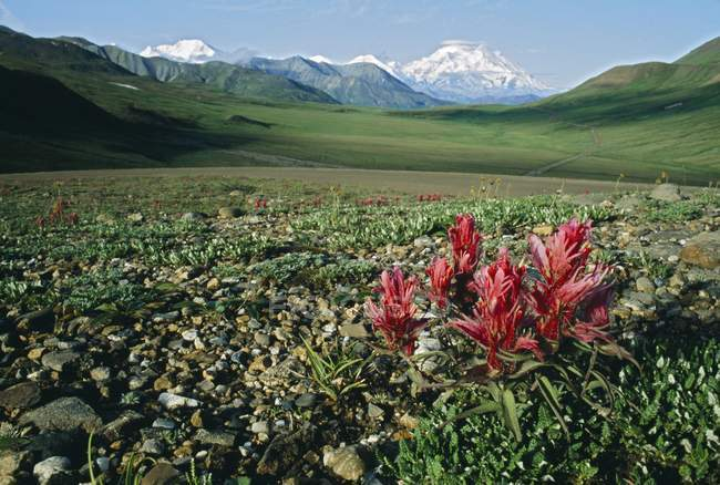 Tundra Flowers With Mount — Stock Photo