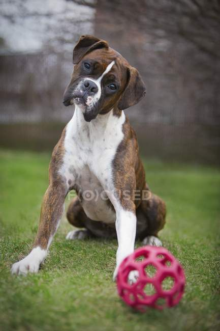 Boxer Dog Sits With Ball — Stock Photo