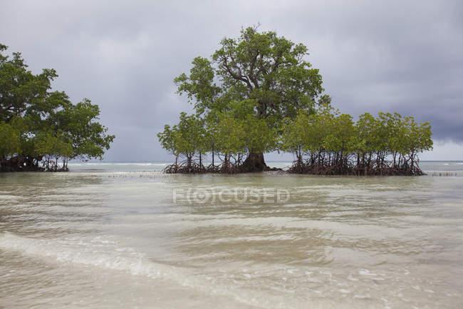 Alberi di mangrovie sulla costa — Foto stock