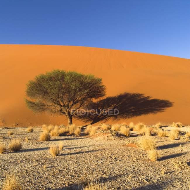 Дерево в пустелі, Намібія — стокове фото