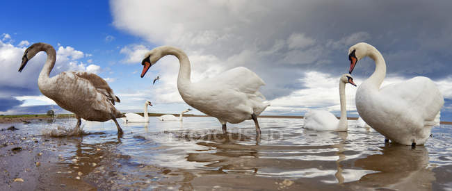 Swans Wading In Water; — Stockfoto
