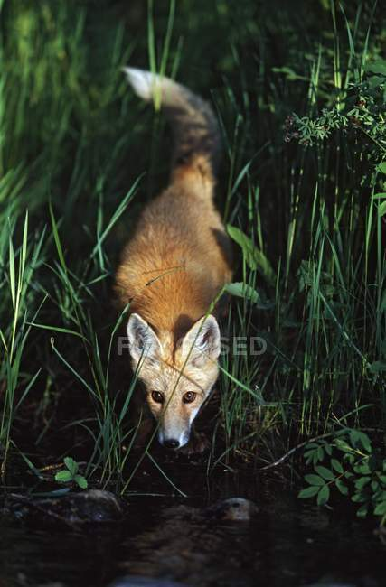 Молодий лисиця руда — стокове фото