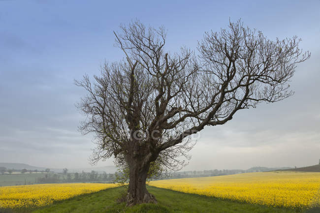 Lone Tree On Edge Of Field — Stock Photo