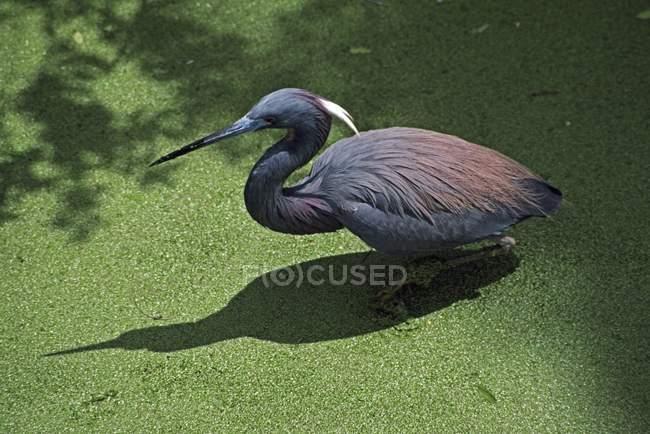 Airone della Luisiana che guada In stagno — Foto stock
