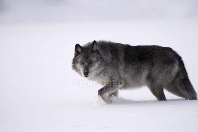 Серый волк на снегу — стоковое фото