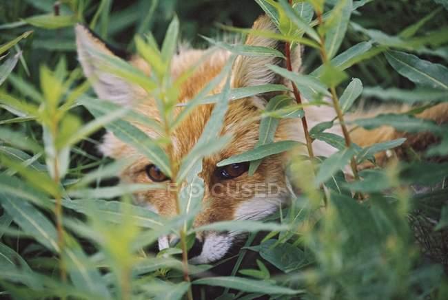 Roter Fuchs (Vulpes Vulpes) späht durch Vegetation auf der Suche nach P — Stockfoto
