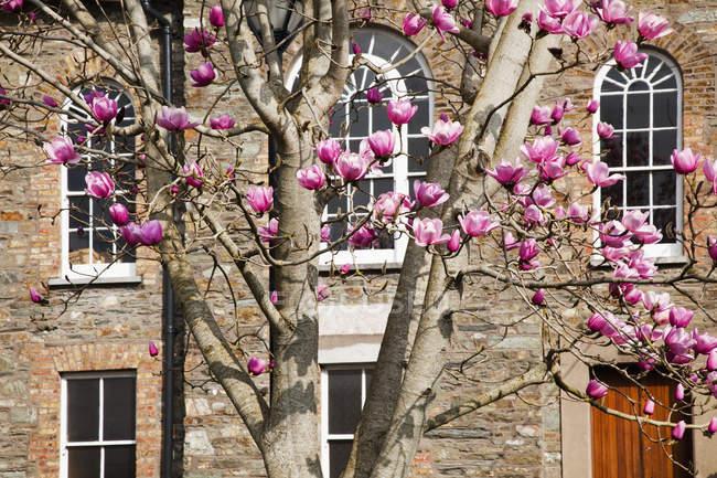Магнолія дерево перед будівлі — стокове фото