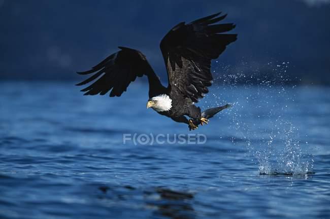 Águila balanceada en vuelo - foto de stock