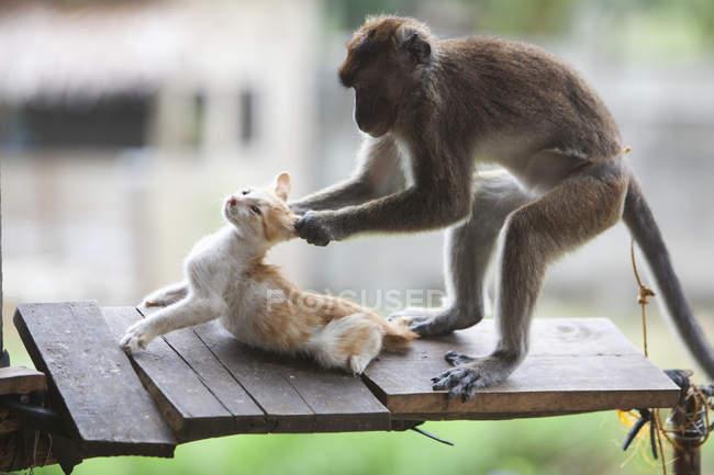Macaco em cativeiro puxa orelhas um gatinho — Fotografia de Stock