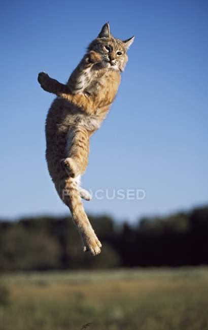 Bobcat, стрибаючи в повітрі — стокове фото