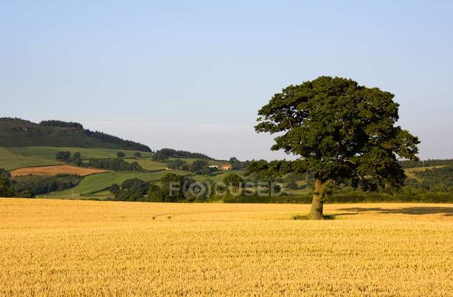 Tree In Golden Field — Stock Photo