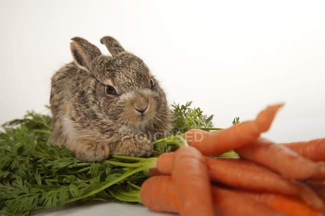 Baby кролик с морковью — стоковое фото