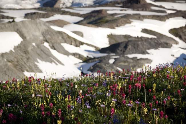 Wildflowers Along A Snowy Mountain — Stock Photo
