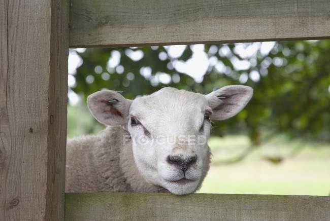 Овцы смотрят через забор — стоковое фото
