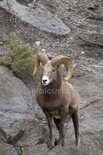 Pie de ovejas de Bighorn en empedrado superficie - foto de stock