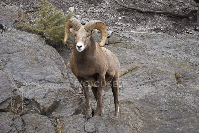 Borrego cimarrón (Ovis canadensis) - foto de stock
