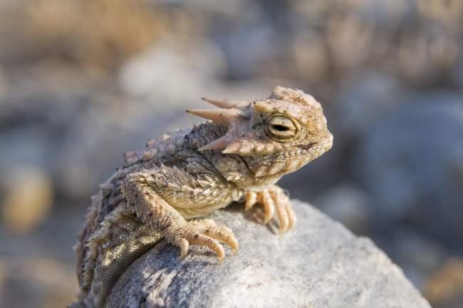 Пустеля рогата ящірка — стокове фото