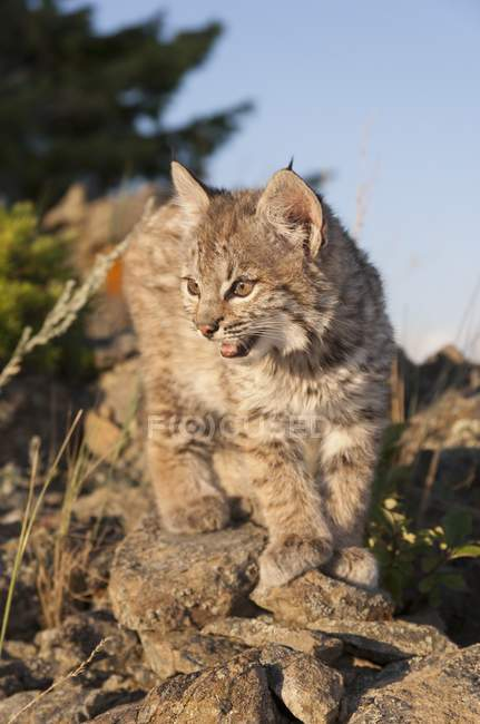 Bobcat Kitten esplora affioramento — Foto stock
