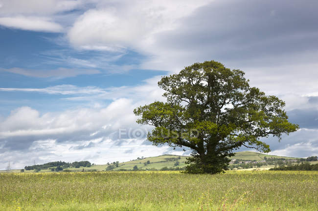 Lone Tree In Field — Stock Photo