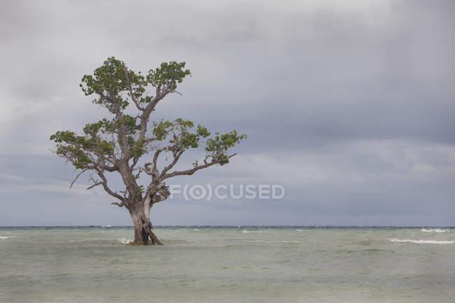 Mangrove Tree isola — Foto stock