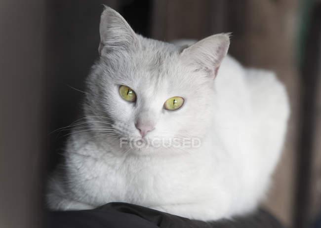 Portrait de chat blancblanc avec des taches noires chat assis à la fenêtre suivante — Photo de stock