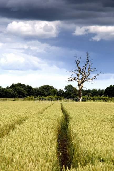 Campo di grano con albero asciutto — Foto stock