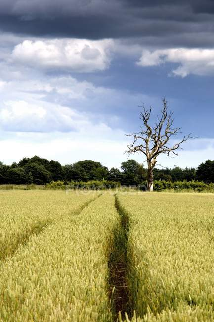 Wheat Field with dry tree — Stock Photo