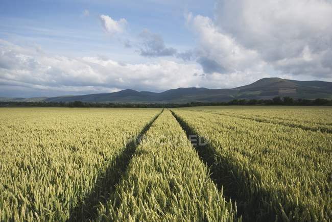 Tracce nel campo di grano — Foto stock