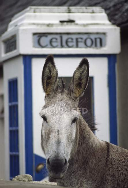 Donkey By Telephone Booth — Stock Photo