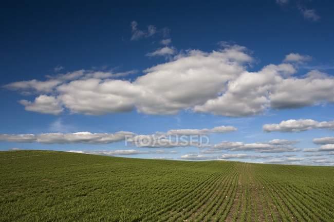 Feld, Kelliher, Saskatchewan, Kanada — Stockfoto