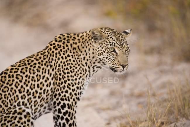 Leopardo sentado al aire libre - foto de stock
