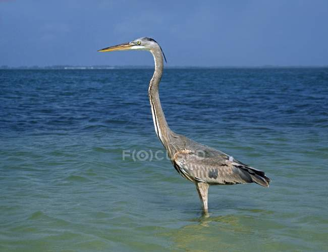 Great Blue Heron Stock Photos Royalty Free Images Focused