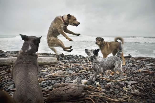 Собаки бьются на пляже — стоковое фото