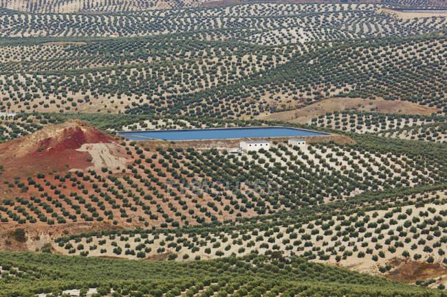 Olivais em Mancha — Fotografia de Stock