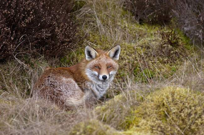Le renard roux, portant sur les plantes — Photo de stock