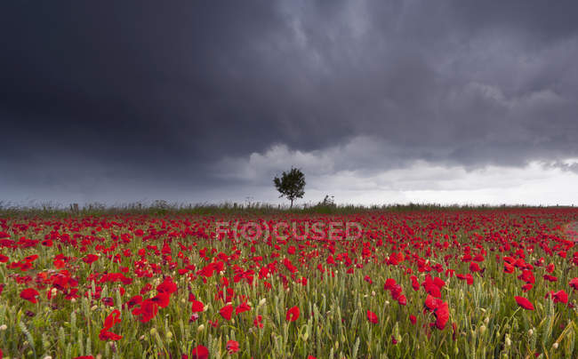 Campo de amapolas rojas bajo cielo tormentoso - foto de stock