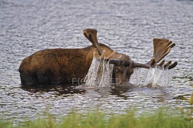 Поднимая головы быка лося — стоковое фото